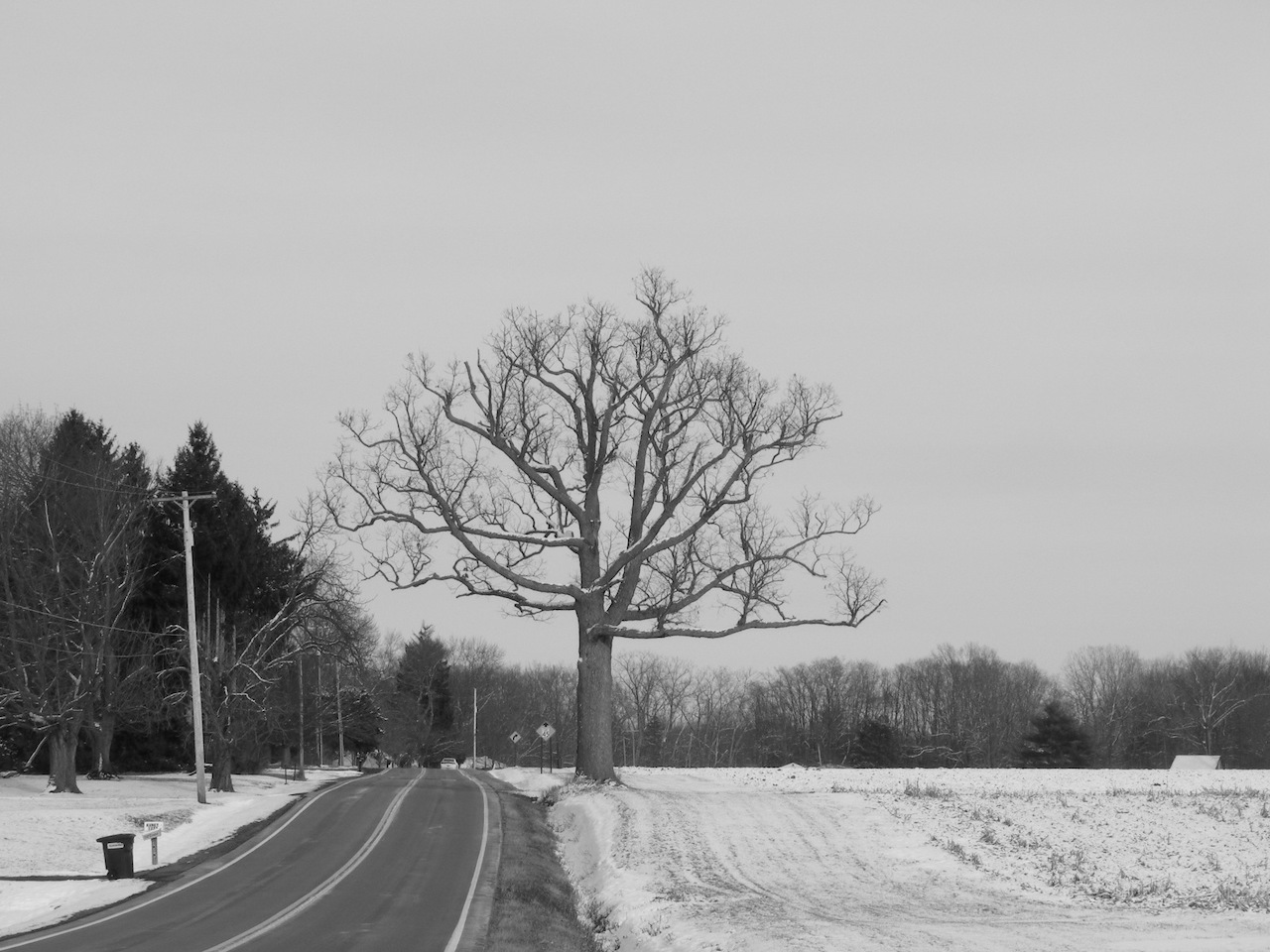 Lonely tree on River Road (photo)